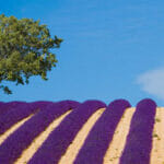 Provence-Frankrijk-Lavendel-fi