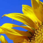 sunflowertwitterls