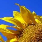 4. Sunflower