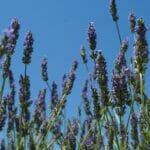 lavendel blue sky 2000