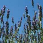 lavendel blue sky 560