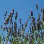 lavendel blue sky 800sq