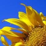 sunflower sq 350