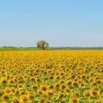 sunflowers 560