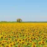 sunflowers 800