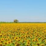 sunflowers sq 900
