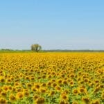sunflowers sq560