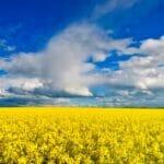 yellow blue landscape 560